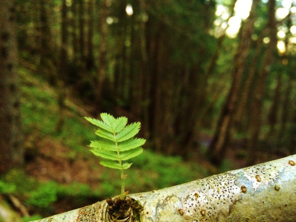 Skogen vokser