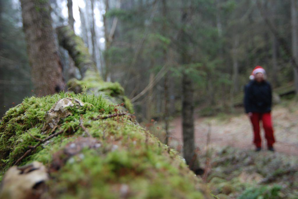 Østmarkas gammelskog venter på julebesøk